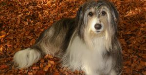 Bearded-Collie-breed-guide-header