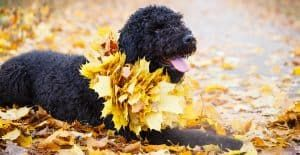 Black-russian-terrier-out-in-the-woods