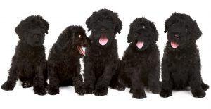 Black-russian-terrier-puppies