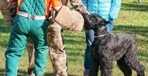 Black-russian-terrier-training
