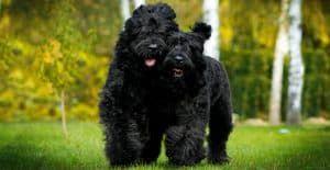 Black-russian-terriers-smilling