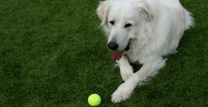Great-Pyrenees-playing