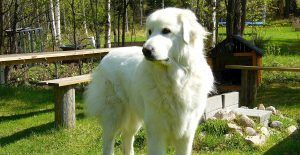 Great-Pyrenees-size-and-measurement