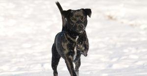 Patterdale-Terrier-black-in-snow