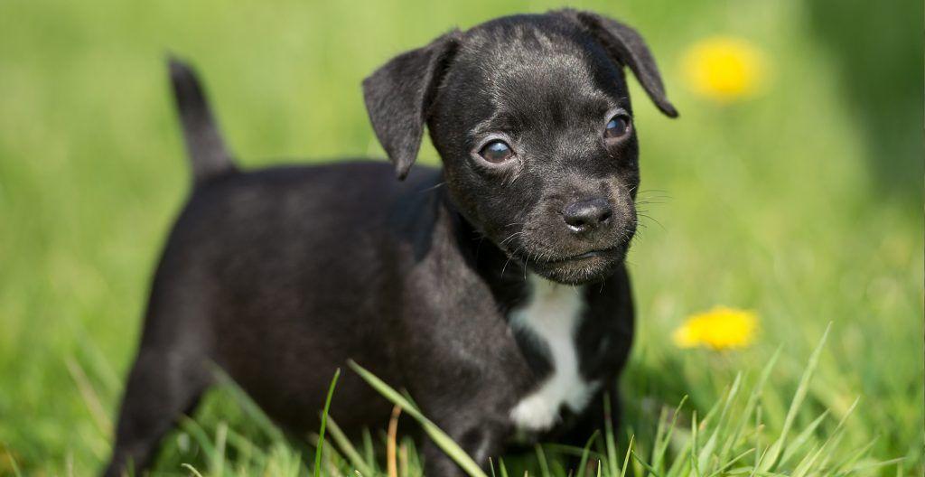 Patterdale-Terrier-puppy