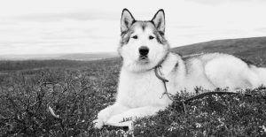 alaskan-malamute-black-and-white