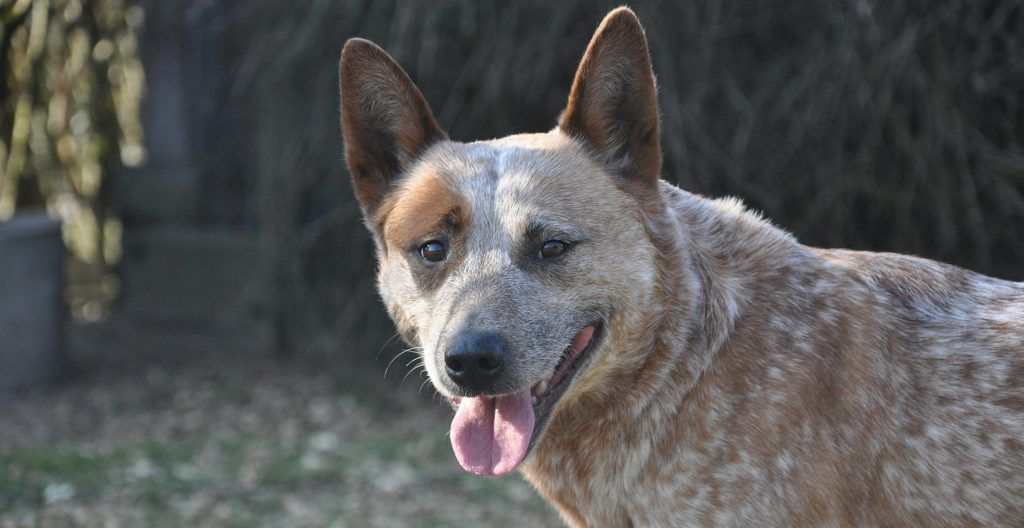 australian-cattle-dog-outdoor