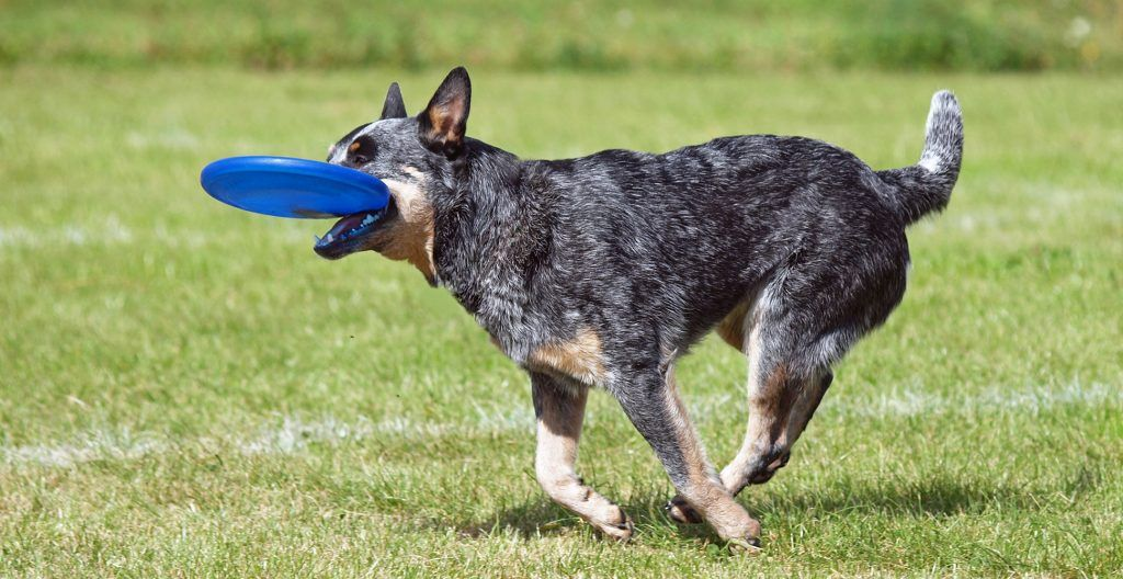 australian-cattle-dog-playing-with-disk