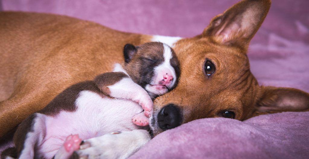 basenji-mom-and-pup