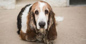basset-hound-muddy