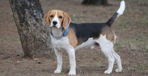 beagle-in-tan-white-and-black