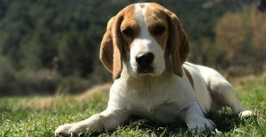 beagle-laying-on-ground