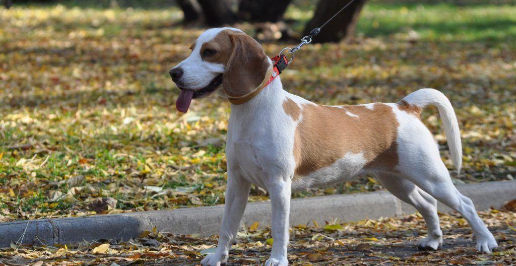 beagle-on-leash