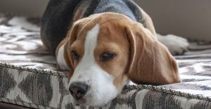 beagle-on-the-couch