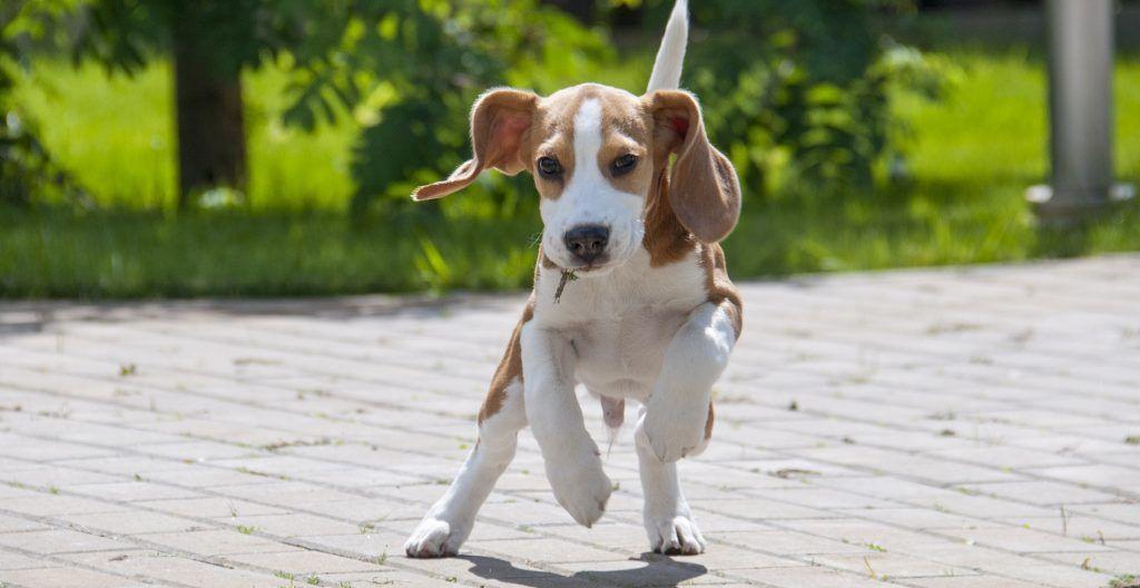 beagle-pup-playing