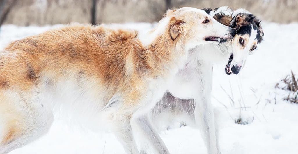 borzoi-snow-playing