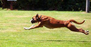 boxer-exercise