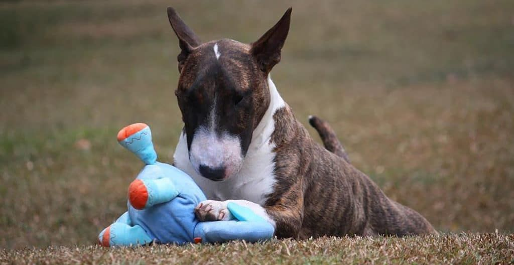 bull-terrier-playing