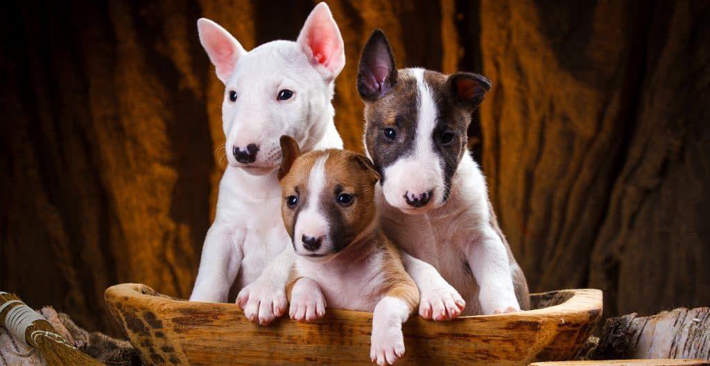 bull-terrier-puppies