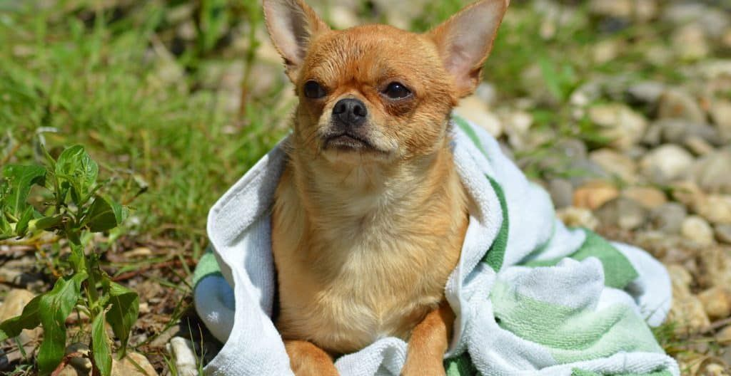 chihuahua-covered-with-towel