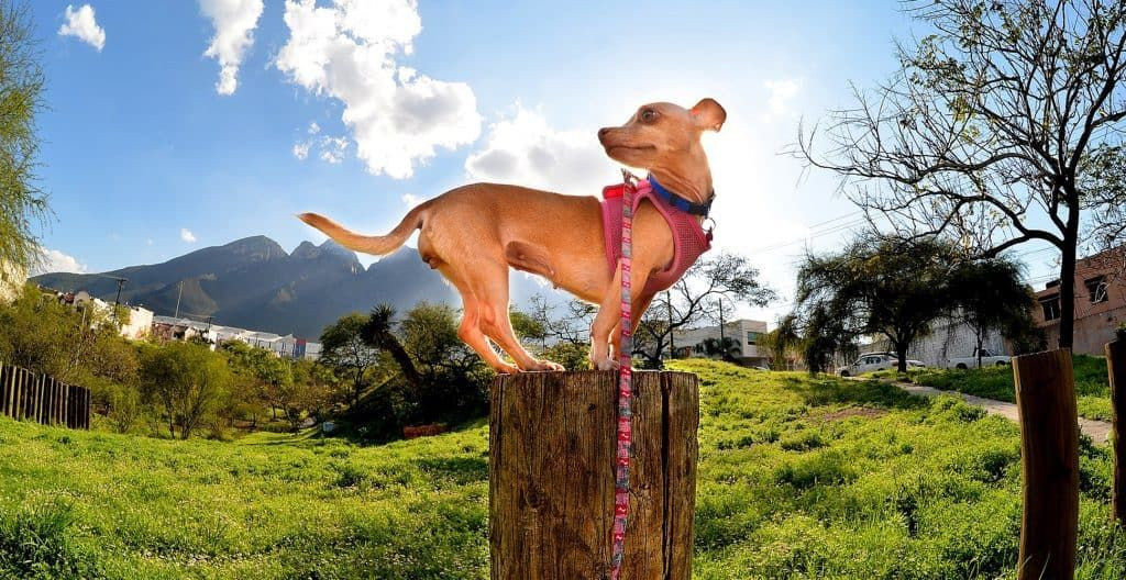 chihuahua-on-top