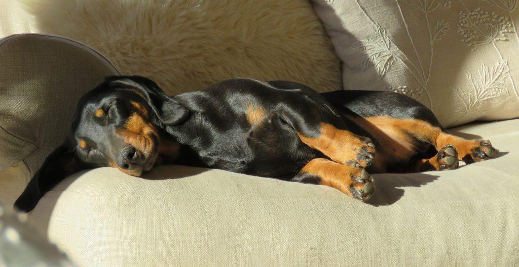 dachshund-napping