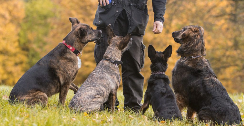 dogs-in-training