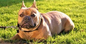 french-bulldog-firm
