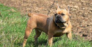 french-bulldog-grown-up