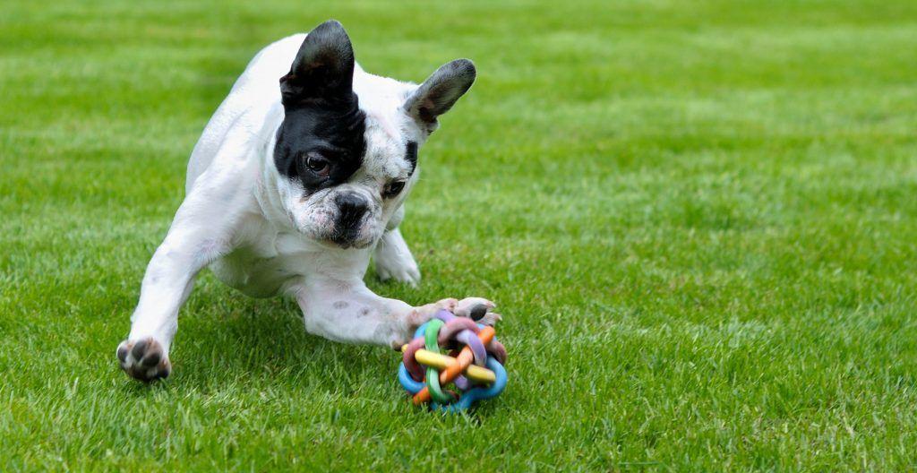 french-bulldog-playing