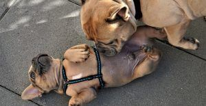french-bulldog-playing-with-one-another