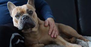 french-bulldog-snuggle-with-human