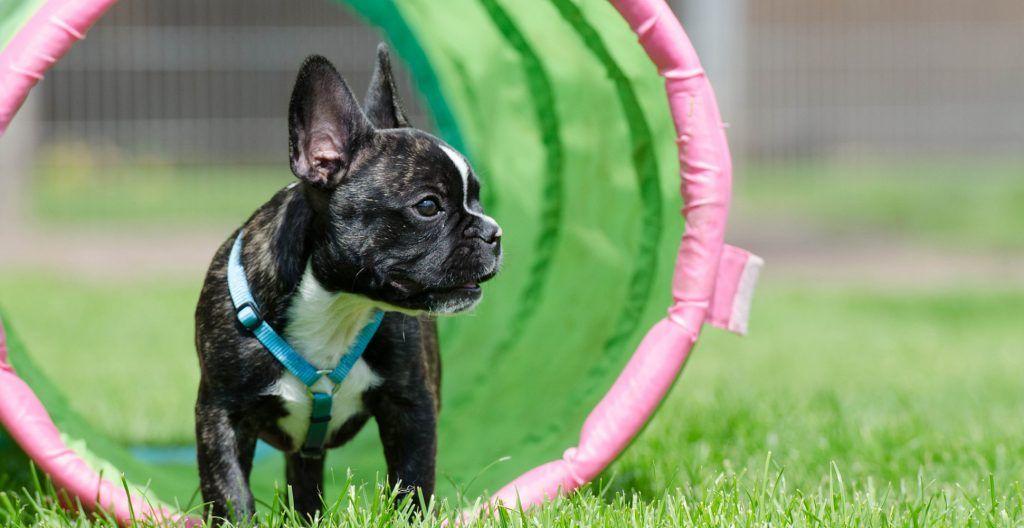 french-bulldog-training