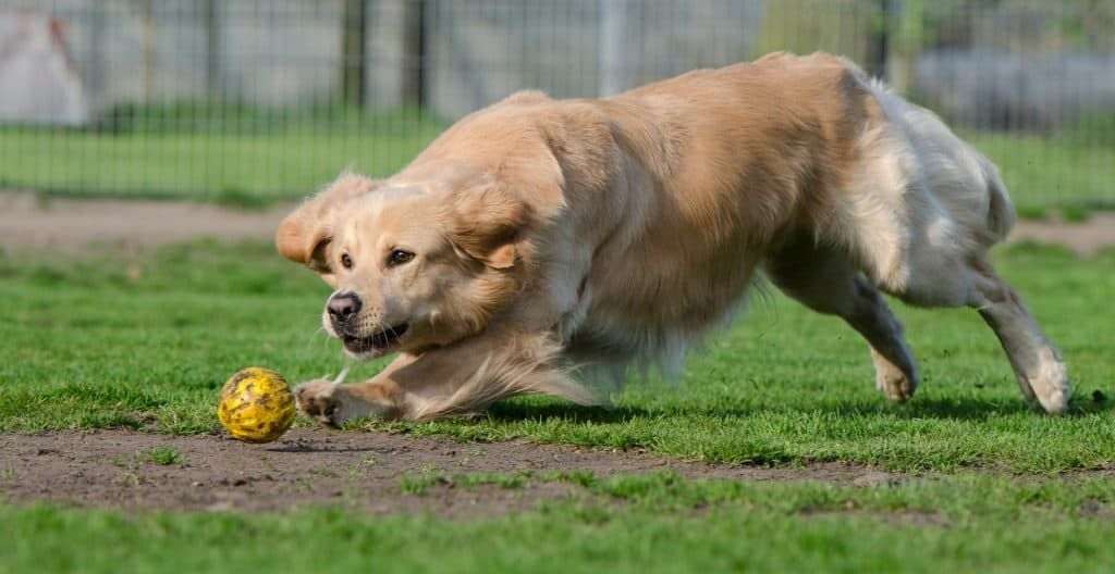 golden-retriever-playing-with-ball