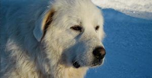 great-pyrenees-white
