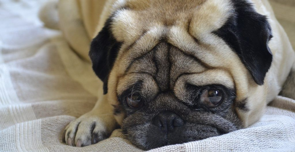pug-breed-personality
