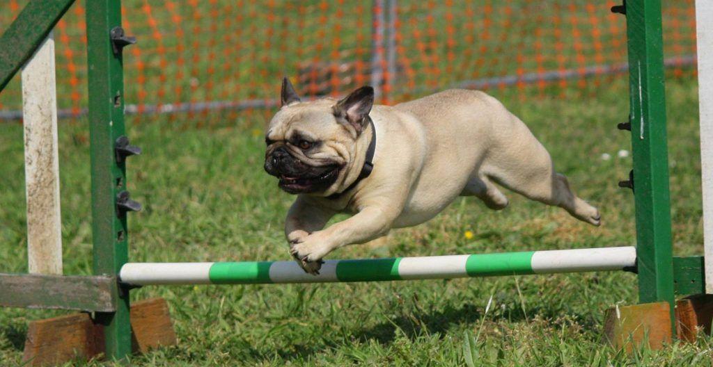 pug-training-and-exercise