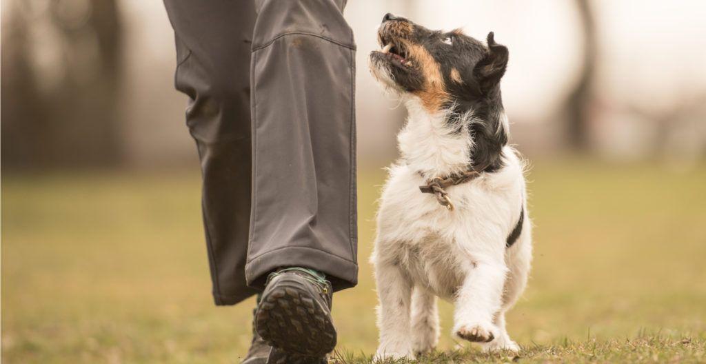 teaching-dog-to-heel