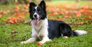 BORDER-COLLIE-BREED-GUIDE