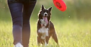 BORDER-COLLIE-PERSONALITY