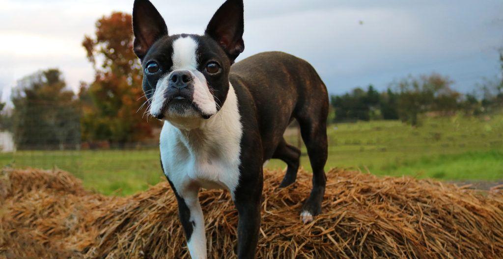 Boston-Terrier-on-hay-stocks