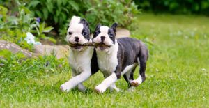 Boston-Terriers-with-stick-in-their-mouth