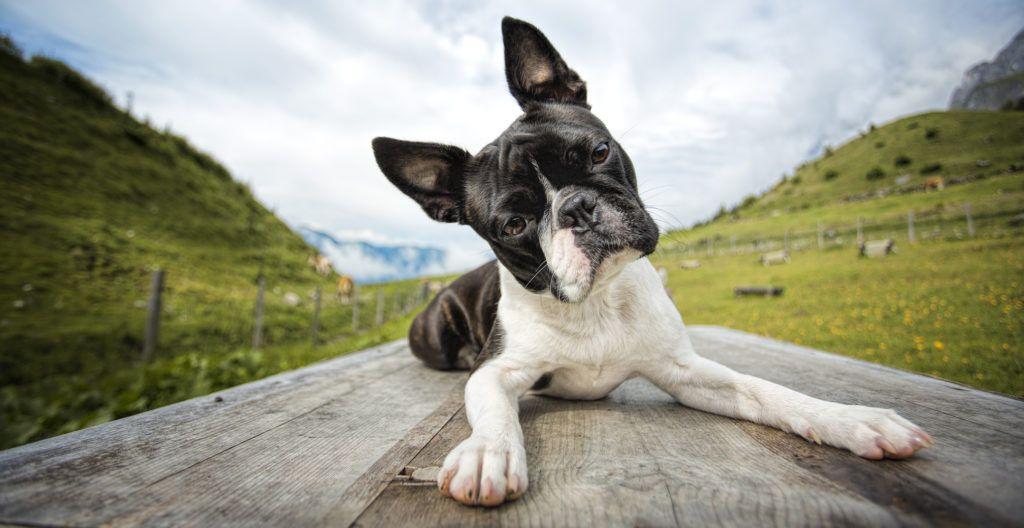 Boston-terrier-in-the-alps