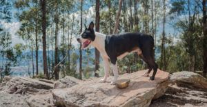Boston-terrier-on-top-of-a-rock