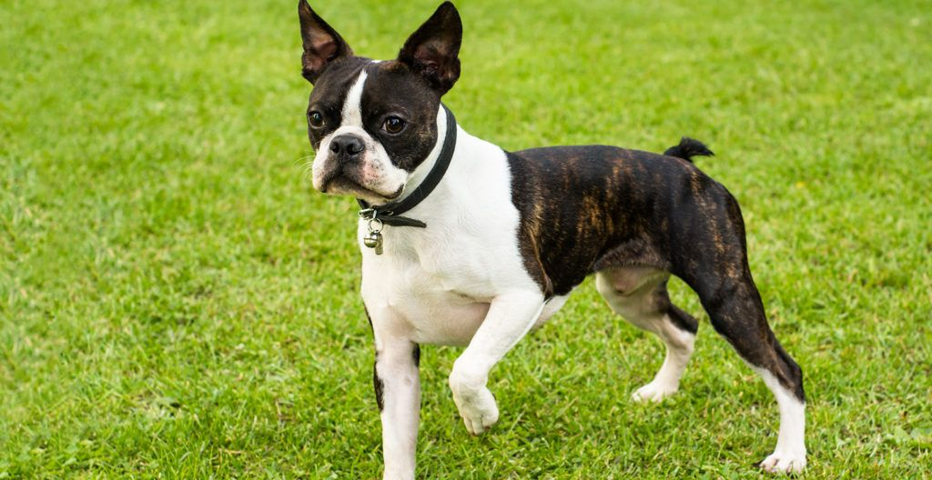 Boston-terrier-out-in-the-garden