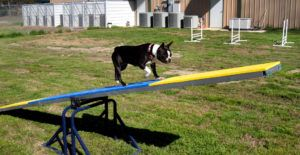 Boston-terrier-training