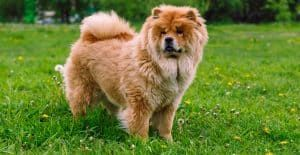 CHOWCHOW-BREED-GUIDE