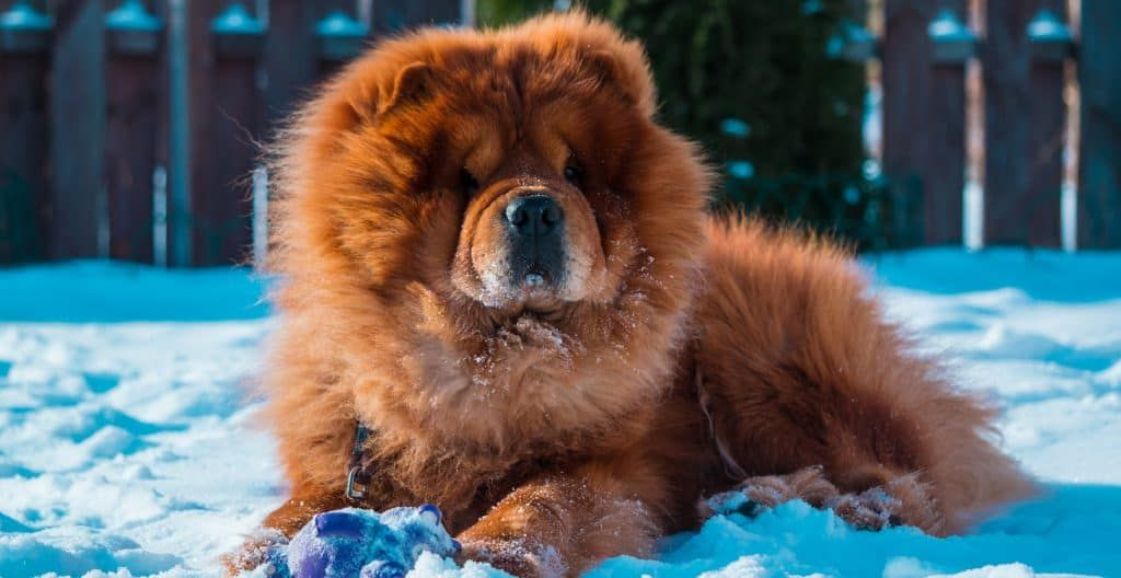 CHOWCHOW-RED-IN-THE-SNOW