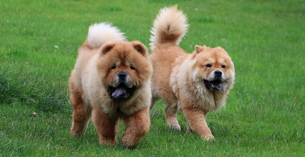 CHOWCHOW-RUNNING-IN-THE-PARK
