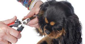 Cavalier-king-charles-spaniel-grooming